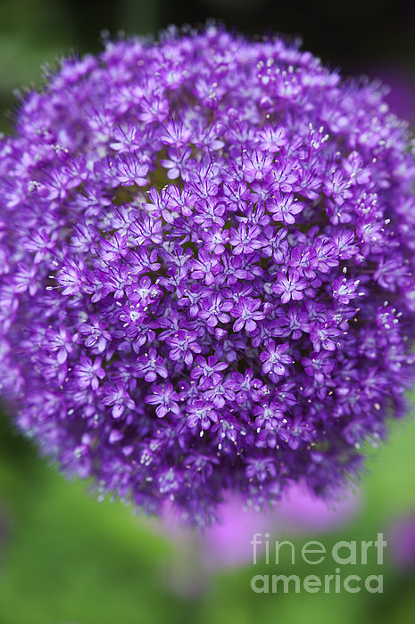 Allium Ambassador Print by Tim Gainey