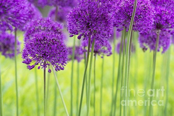 Allium Hollandicum Purple Sensation Flowers Print by Tim Gainey