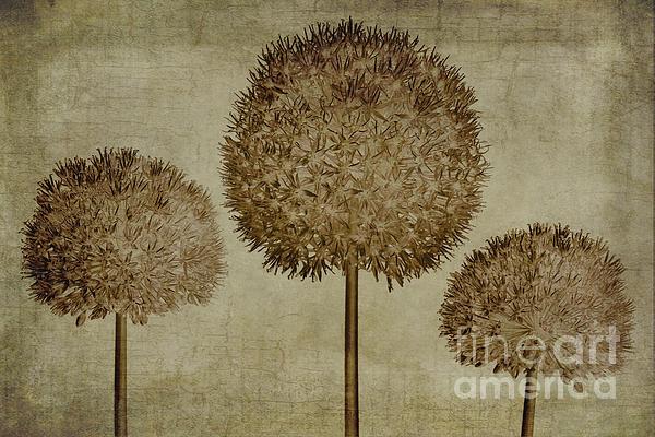 Allium Hollandicum Sepia Textures Print by John Edwards