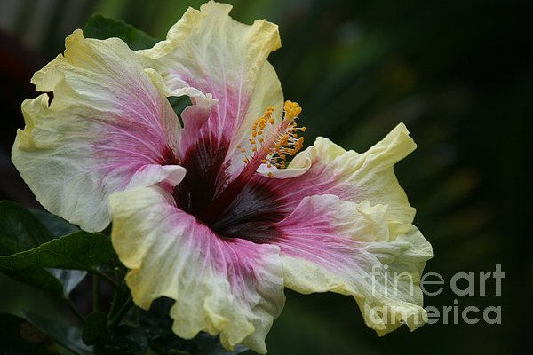 Aloha Aloalo Tropical Hibiscus Haiku Maui Hawaii Print by Sharon Mau