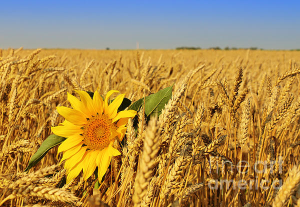 Alone Sunflower Sunflower In Wheat Print by Boon Mee