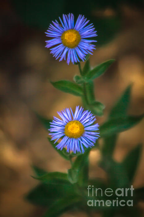 Alpine Aster Print by Robert Bales