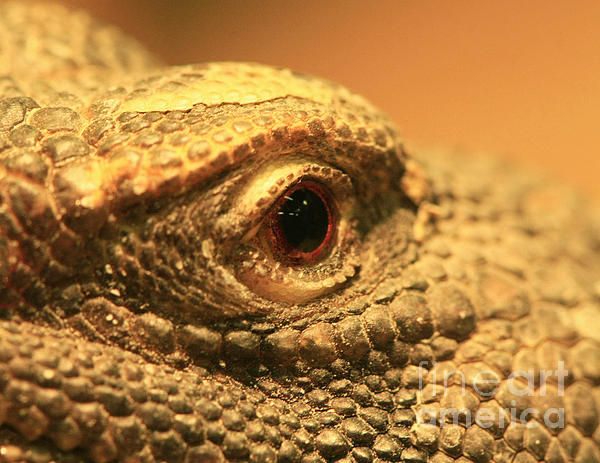 Always Watch Your Back - Benti Uromastyx Lizard Print by Inspired Nature Photography By Shelley Myke