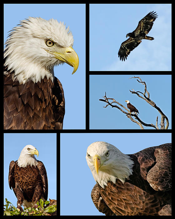 American Bald Eagle Collage Print by Dawn Currie