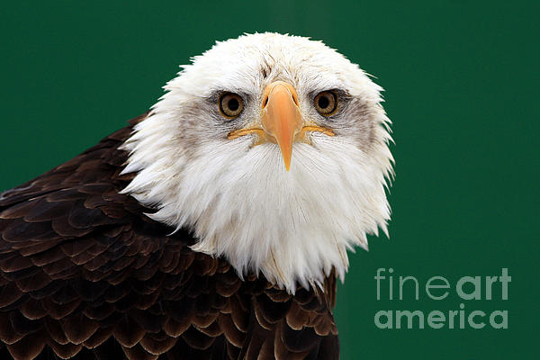 Inspired Nature Photography By Shelley Myke - American Bald Eagle on the Look Out