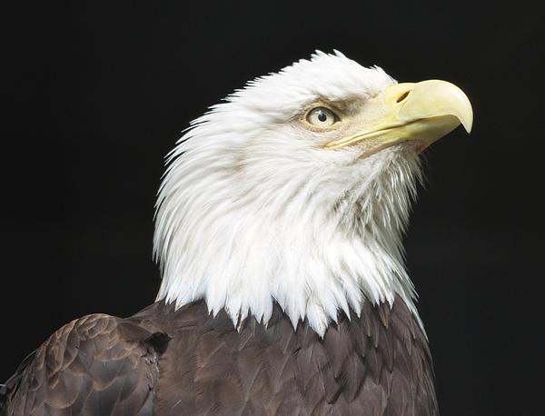 Richard Bryce and Family - American Bald Eagle Profile