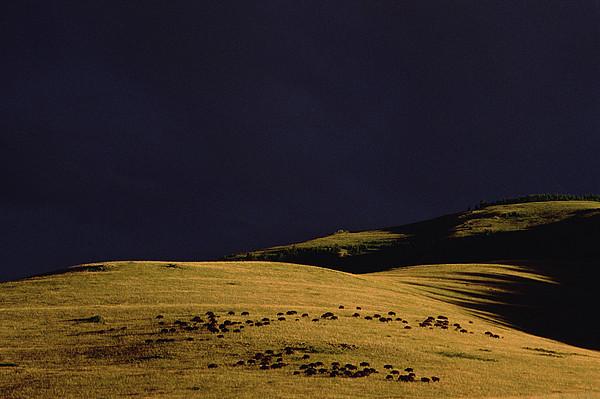 American Bison Herd Print by Gerry Ellis