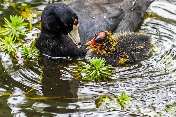 Kate Brown - American Coot and chick