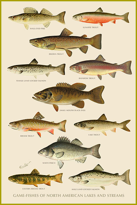American Game Fish Print by Gary Grayson