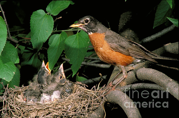 American Robin Feeding Its Young Print by David N. Davis