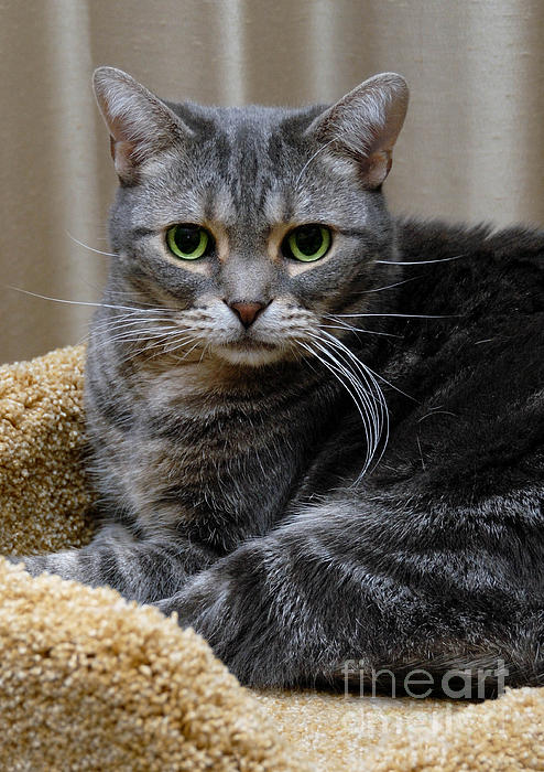 American Shorthair Cat Portrait Print by Amy Cicconi