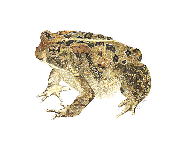 American Toad Print by Cindy Hitchcock