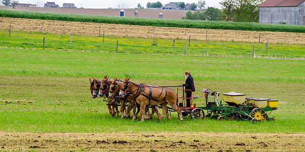 Amish Farmer Print by Guy Whiteley
