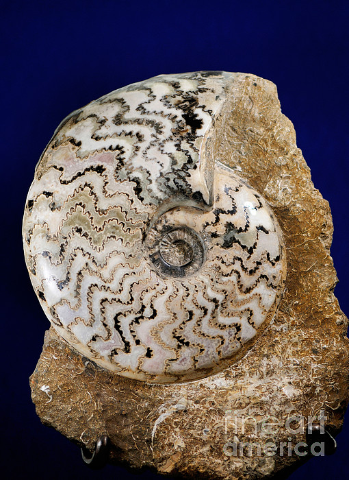 Ammonite Fossil Print by Scott Camazine
