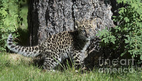 Sandra Bronstein - Amur Leopard Cub Antics