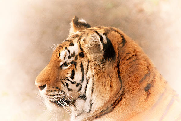 Amur Tiger Print by Karol  Livote