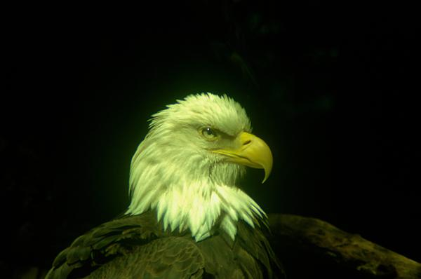 An Eagle Portrait Print by Jeff  Swan