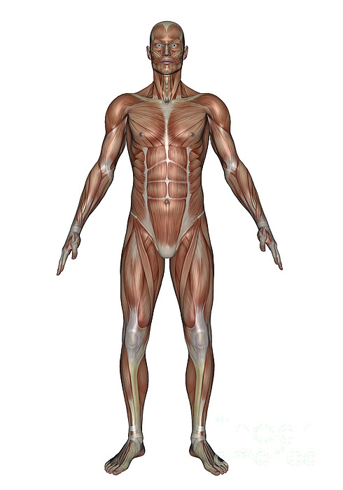 Anatomy Of Male Muscular System, Front Print by Elena Duvernay