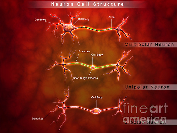 Anatomy Structure Of Neurons Print by Stocktrek Images