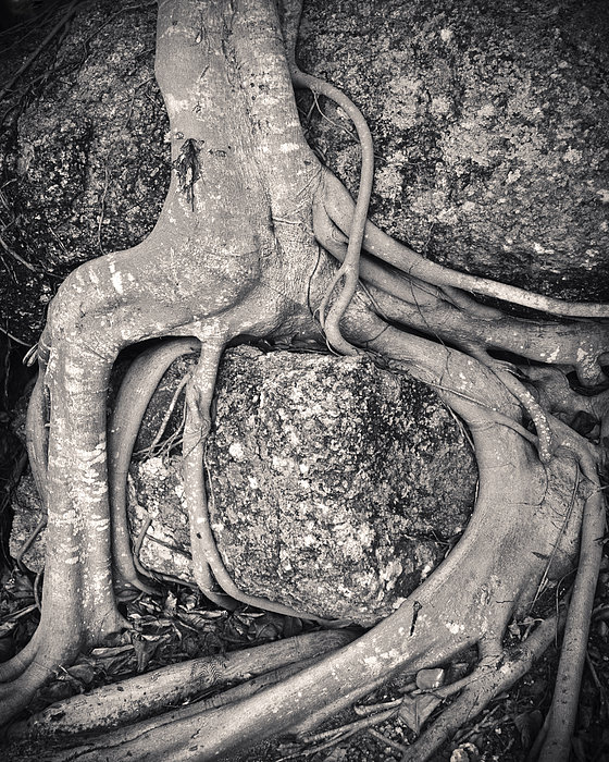 Ancient Roots Print by Adam Romanowicz