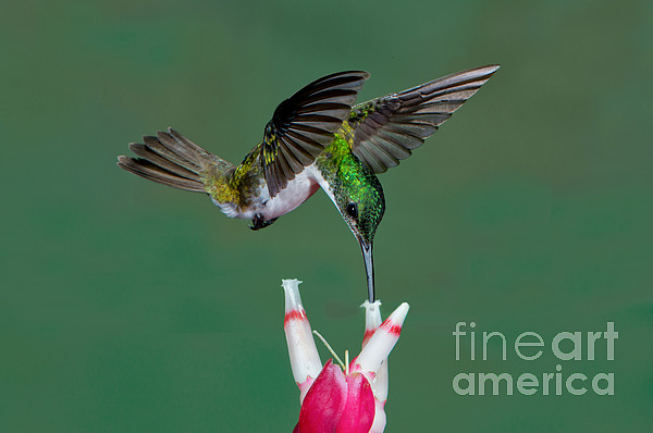 Andean Emerald Hummingbird Print by Anthony Mercieca