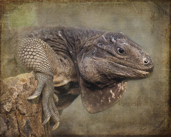 Tessa Fairey - Anegada Ground Iguana - Houston Zoo
