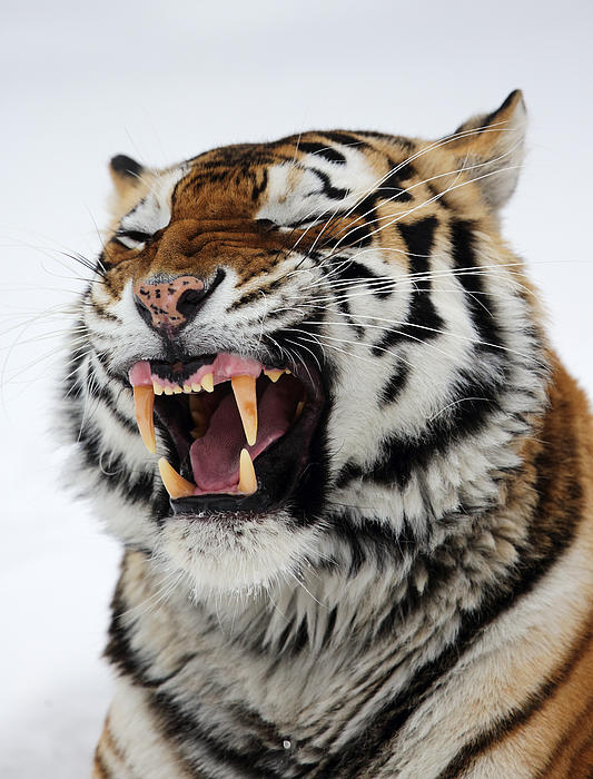 Angry Siberian Tiger Portrait Print by Alex Sukonkin
