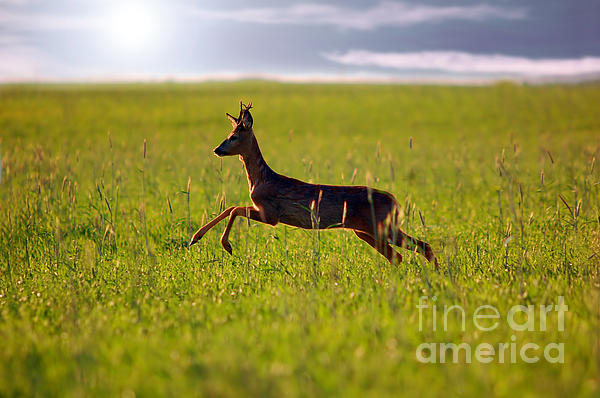 Animal Background. Roe-deer Print by Michal Bednarek