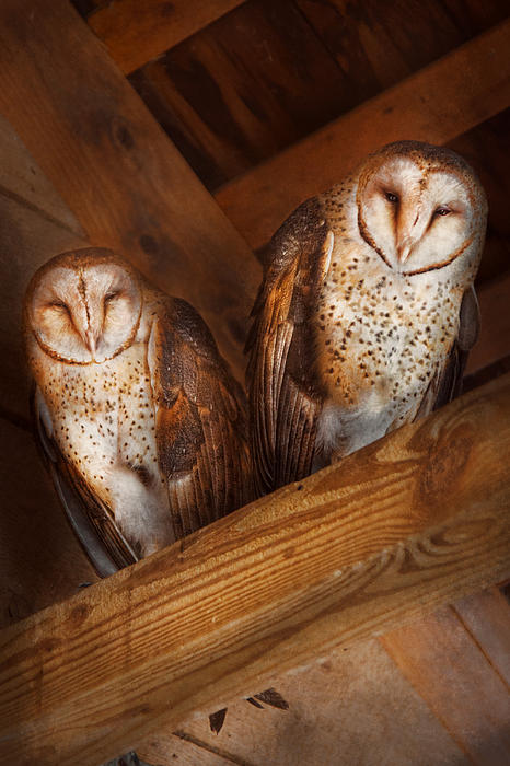 Animal - Bird - A Couple Of Barn Owls Print by Mike Savad