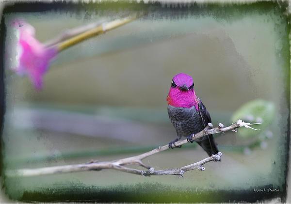 Anna's Hummingbird - Male Print by Angela A Stanton