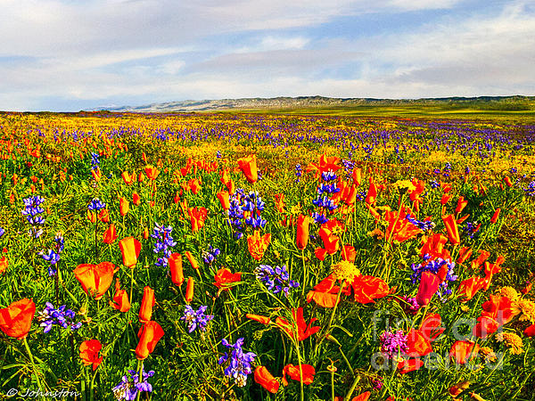 Antelope Valley California Poppy Reserve Print by  Bob and Nadine Johnston