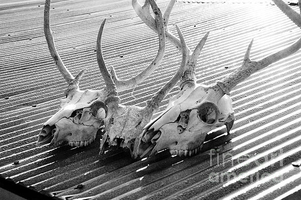 Antlers On Tin Roof Print by Thomas R Fletcher