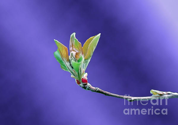 Apple Tree Blossom Spring Flower Bud Print by ImagesAsArt Photos And Graphics