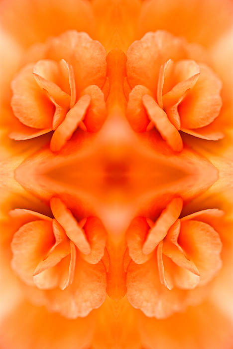 Apricot Begonia Print by Onyonet  Photo Studios