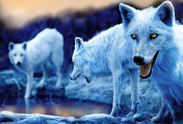Arctic White Wolves Print by Mal Bray