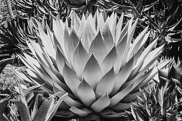 Artichoke Agave B W Print by Kelley King