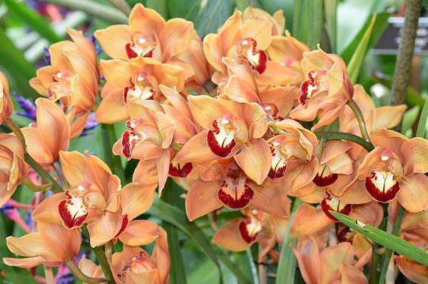 Sonali Gangane - Asian Corsage Orchid