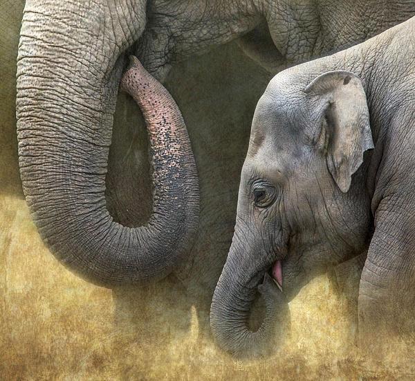 Angie Vogel - Asian Elephants