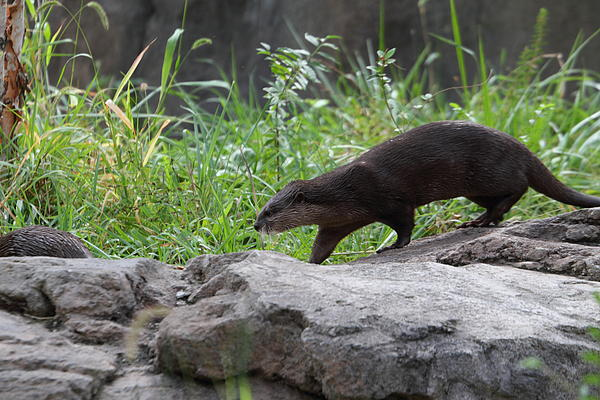 Asian Small Clawed Otter - National Zoo - 01135 Print by DC Photographer