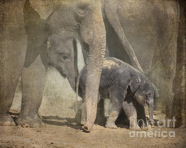 Tessa Fairey - Asian Elephants - three generations