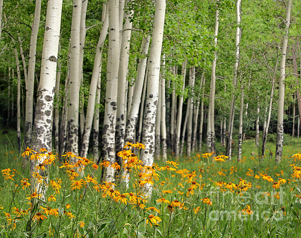 Aspen Grove And Wildflower Meadow Print by Matt Tilghman