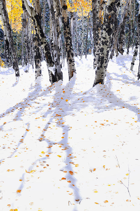 The Forests Edge Photography - Diane Sandoval - Aspen Shadows