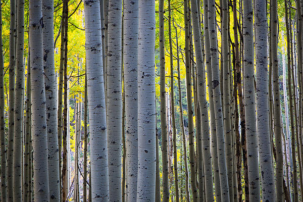 Aspen Trunks Print by Inge Johnsson