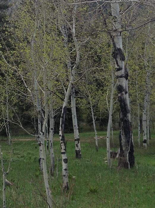 Aspens In The Spring Print by Shawn Hughes
