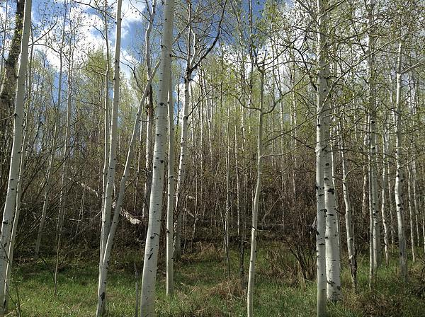 Aspens In The Springtime Print by Shawn Hughes