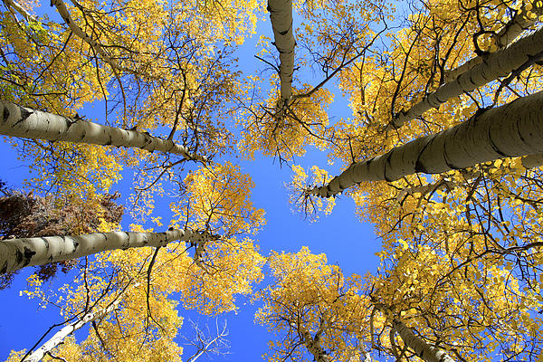 Aspens Skyward Print by John Daly
