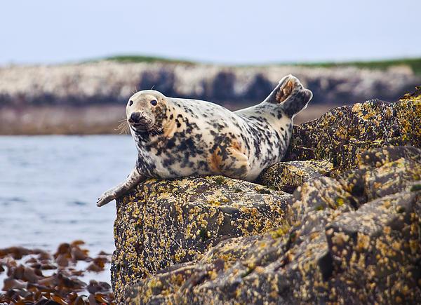 Atlantic Grey Seal Halichoerus Grypus Print by Liz Leyden
