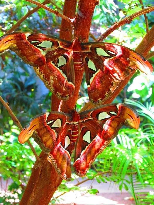 Alec Drake - Atlas Moths At Rest