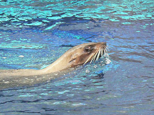 Australian Fur Seal Relaxing Print by Margaret Saheed