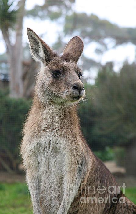 Australian Kangaroo Print by Jacqui Martin